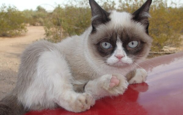 grumpy cat on a car